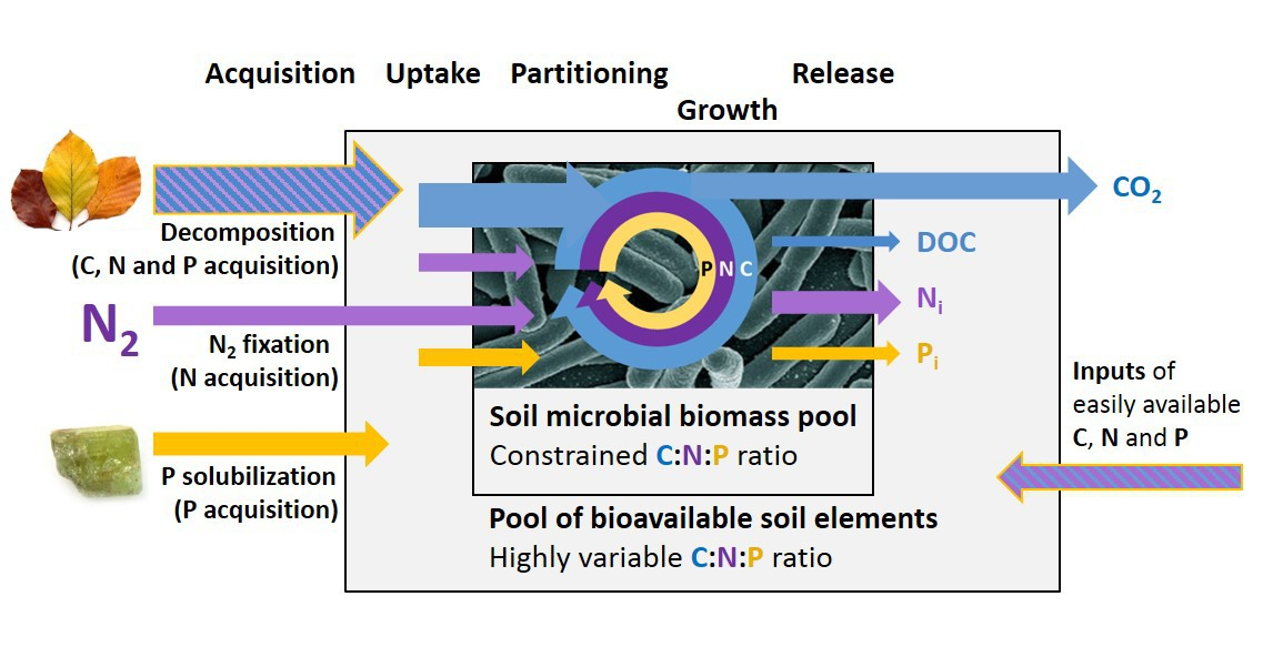DFG SP1389/6-1: Stoichiometric homeostasis of soil microorganisms as a driver of element cycling in grasslands